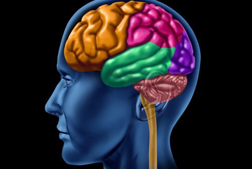 החלוקה לאונות לפי פעילות נוירולוגית (אילוסטרציה)