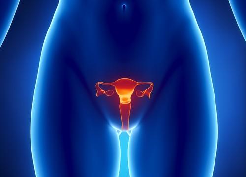 מערכת הרבייה הנשית (אילוסטרציה)