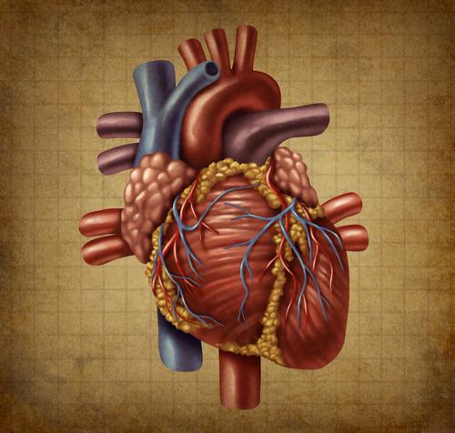 לב אנושי (אילוסטרציה)