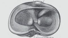 שוקה ימנית במבט על. באיור נראים המניסקוסים של הברך (הצידי מימין והתיכון משמאל) וחלק מרצועות הברך. (מקור: ויקיפדיה)