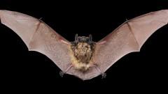 עטלף (צילום: אילוסטרציה)