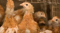 חוות עופות (צילום: אילוסטרציה)