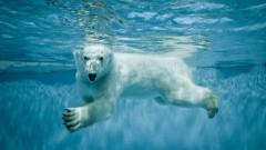 דוב קוטב שוחה (צילום: אילוסטרציה)