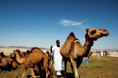 גמלים בסעודיה. זוהו כמקור נגיף ה-MERS (צילום: אילוסטרציה)