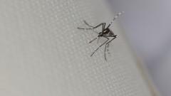 יתוש הנמר האסייתי (צילום: אילוסטרציה)