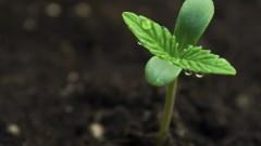 צמח מריחואנה (צילום: אילוסטרציה)