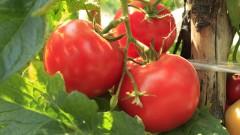 עגבניות (צילום: אילוסטרציה)