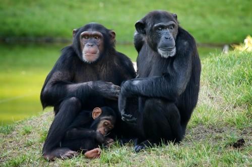 משפחת שימפנזים; ככל הנראה מקור ההדבקה היה צייד שצד שימפנזה בקונגו (צילום: אילוסטרציה)