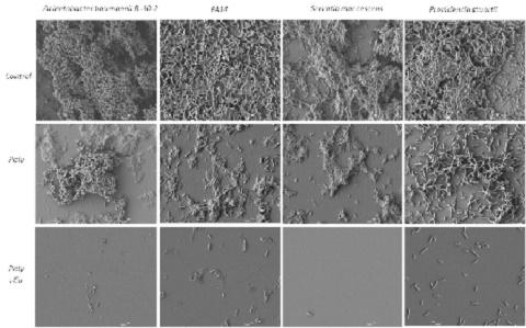 מקרוסקופית SEM של החומר המרוכב (Polysaccharid Cu complex), בהשואה למשטח ביקורת ומשטחה המצופה בפוליסכריד בלבד במבחני ביופילם כנגד החיידקים (מקור: אוניברסיטת בן-גוריון)
