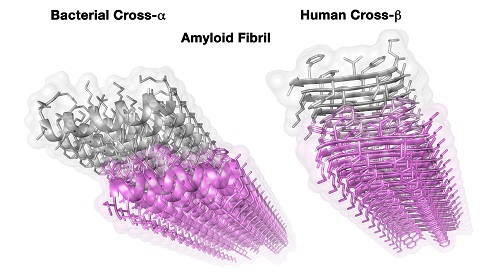 תיאור המבנה הגבישי של הסיב העמילואידי ממקור אנושי (מימין) ושל סיב העמילואיד בחיידק שהתגלה כעת (משמאל)